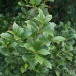 Osmanthus heterophyllus - Schijnhulst - Osmanthus heterophyllus
