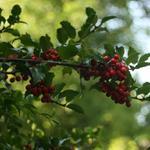 Ilex aquifolium - Hulst - Ilex aquifolium