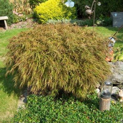 Acer palmatum -