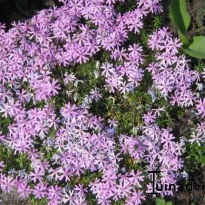 Phlox subulata -