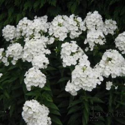 Phlox paniculata 'PEACOCK White' -