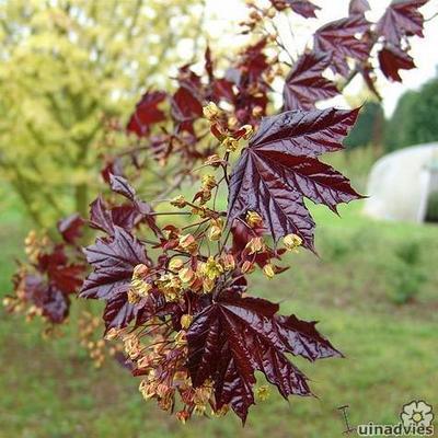 Acer platanoides 'Crimson King' -