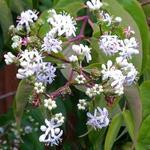 Heptacodium miconioides - Heptacodium miconioides - Zevenzonenboom