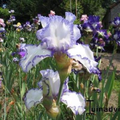 Iris germanica -