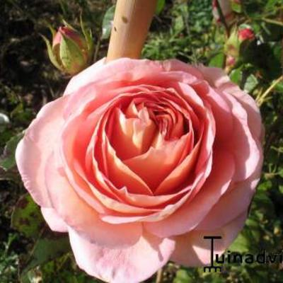 Rosa 'Abraham Darby' - Roos