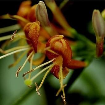 Lonicera henryi 'Copper Beauty'
