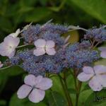 Hydrangea serrata Teller - Hortensia, Berghortensia - Hydrangea serrata Teller