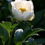 Paeonia lactiflora 'Jan van Leeuwen' - Pioen,Kruidpioen - Paeonia lactiflora 'Jan van Leeuwen'