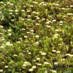 Leptinella - Leptinella - Koperknoopje, Speldenkussenplant