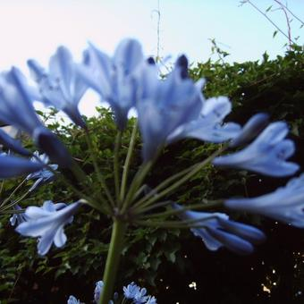 Agapanthus (Funnel group)
