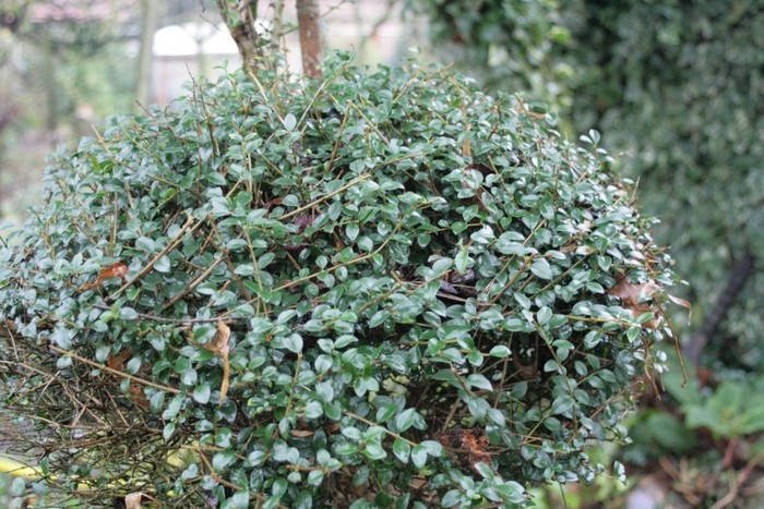japanse hulst ilex crenata 39 convexa 39 planten online kopen. Black Bedroom Furniture Sets. Home Design Ideas