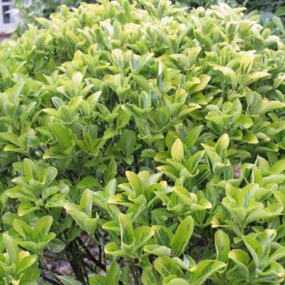 Euonymus japonicus -