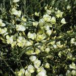 Cytisus x praecox - Brem,  voorjaarsbrem - Cytisus x praecox