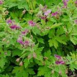 Geranium phaeum 'Rose Madder' - Ooievaarsbek - Geranium phaeum 'Rose Madder'
