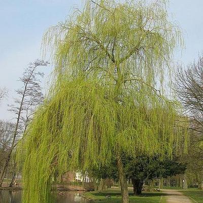 Salix alba 'Tristis' -