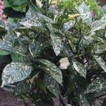 Aucuba japonica 'Variegata'   - Broodboom - Aucuba japonica 'Variegata'