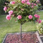 Rosa - Stamroos - Rosa