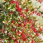 Berberis vulgaris - Zuurbes - Berberis vulgaris