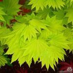 Acer shirasawanum 'Aureum' - Gele esdoorn - Acer shirasawanum 'Aureum'