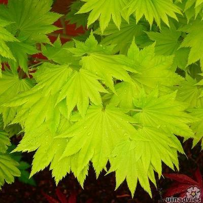 Acer shirasawanum 'Aureum' -
