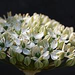 Allium nigrum - Sierui - Allium nigrum