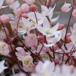 Clematis armandii 'Apple Blossom' - Clematis armandii 'Apple Blossom' - Bosrank