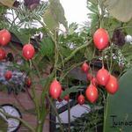 Cyphomandra betacea - Cyphomandra betacea - Rode boomtomaat, Tamarillo