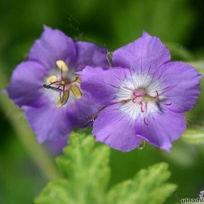 Geranium phaeum 'Margaret Wilson' -
