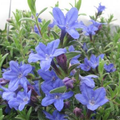 Lithodora diffusa 'Heavenly Blue' - Parelzaad/Steenzaad