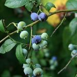 Vaccinium corymbosum - Blauwe bes - Vaccinium corymbosum