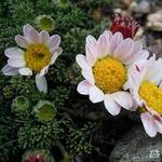 Anacyclus pyrethrum - Bertram