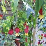 Abutilon megapotamicum - Abutilon megapotamicum - Belgische vlag, Chinese hennep