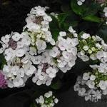 Hydrangea macrophylla lacecaps/teller - Hydrangea macrophylla lacecaps/teller - Schermvormige hortensia