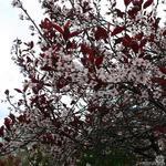 Prunus x cistena - Sierpruim, Zandkers