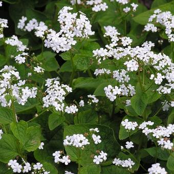 Brunnera macrophylla 'Betty Bowring'