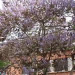 Paulownia tomentosa - Paulownia tomentosa - Paulowniaboom