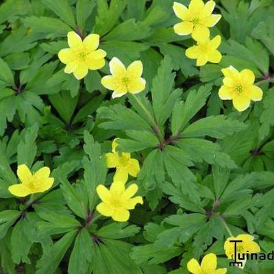 Anemone ranunculoides -