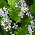 Lunaria rediviva - Wilde judaspenning
