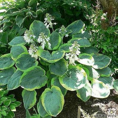 Hosta sieb. 'Frances Williams' - Hartlelie / Funkia