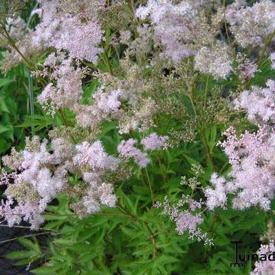 Filipendula purpurea 'Nephele' -