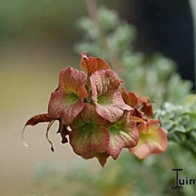 Salvia  african-lutea 'Kirstenbosch' -