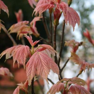 Acer pseudoplatanus 'Brilliantissimum'  -
