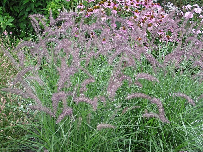 lampepoetsersgras pennisetum orientale 39 karley rose 39 planten online kopen. Black Bedroom Furniture Sets. Home Design Ideas