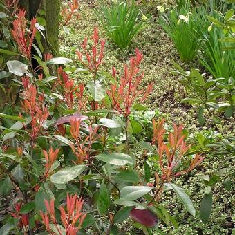 Photinia x fraseri 'Red Robin'