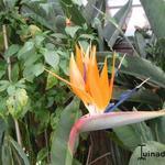 Strelitzia reginae - Paradijsvogelbloem - Strelitzia reginae
