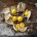 Physalis peruviana - Physalis peruviana - Goudbes, ananaskers