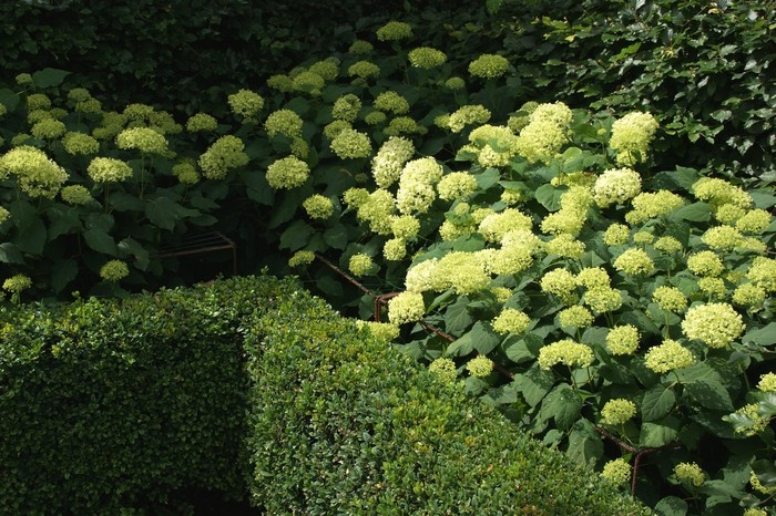 hortensia hydrangea arborescens 39 annabelle 39. Black Bedroom Furniture Sets. Home Design Ideas