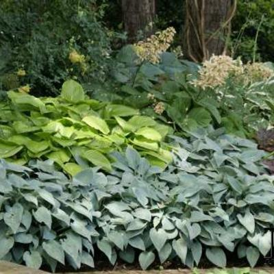Hosta - Hartlelie/Funkia