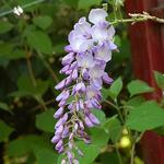 Wisteria sinensis ´Prolific´ - Wisteria sinensis ´Prolific´ - Chinese blauwe regen