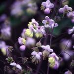 Ruit - Thalictrum rochebrunianum
